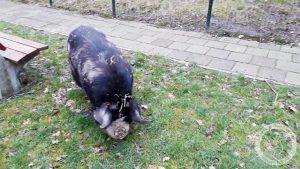 Janet, het vrije varken